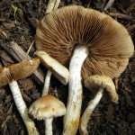 Treating Lyme with Mushroom Extracts